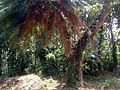 Cycas and Ficus3.JPG