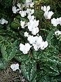Cyclamen hederifolium 'Album' RHu.JPG