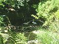 Cygnus bewickii in Burgers' Zoo (Park).JPG