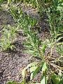 Cynoglossum officinale plant full AB.jpg
