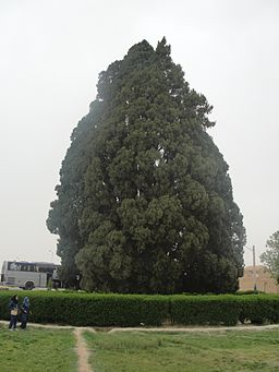 Cypress of Abarqu - Full view with two school girls in front of it.JPG