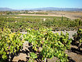 DSC24933, Viansa Vineyards & Winery, Sonoma Valley, California, USA (8431559046).jpg