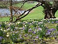 Daffodils at Ripley Castle - panoramio.jpg