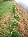 Daffodils on hillside above Bettws - geograph.org.uk - 318132.jpg