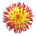 Dahlia on white Background.jpg