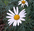 Daisy (Argyranthemum frutescens).jpg