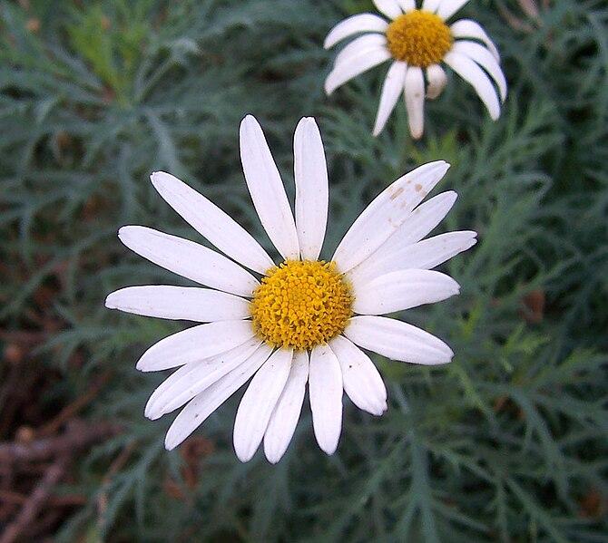 File:Daisy (Argyranthemum frutescens).jpg