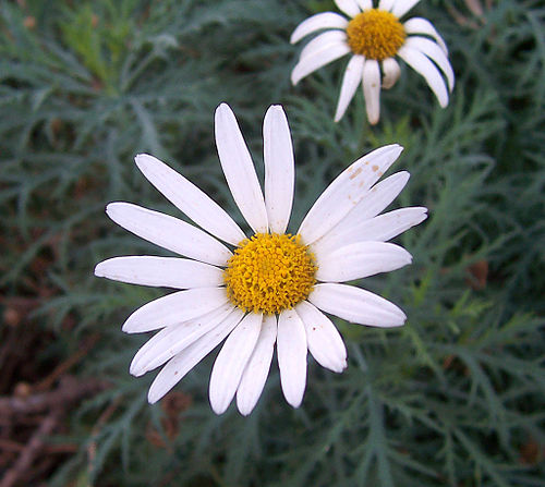 Httpwww Overlordsofchaos Comhtmlorigin Of The Word Jew Html: Wikijunior:Flower Alphabet/D