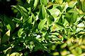 Danae racemosa in Jardin des Plantes de Toulouse 02.jpg