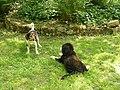 Dansk-Svensk Gaardshund et Bernese Mountain Dog (1).jpg