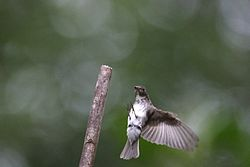 Dark-sided Flycatcher (Muscicapa sibirica).jpg