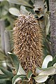 Dead flower head of an Banksia integrifolia.jpg