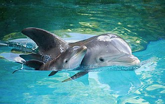 The common bottlenose dolphin is a frequent visitor to the waters of the Albanian Adriatic and Ionian Sea Coasts. Delfinees.jpg
