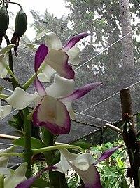 Dendrobium taurinum.jpg