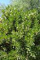 Dermatophyllum secundiflorum kz2.jpg