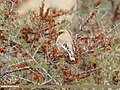 Desert Finch (Rhodospiza obsoleta) (31897017218).jpg