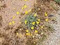 Desert Marigold, Baileya multiradiata - panoramio.jpg