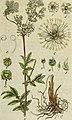 Deutschlands flora in abbildungen nach der natur (1806) (14740229236).jpg
