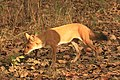 Dhole or Wild dog (66).jpg