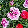 Dianthus barbatus jm59906.jpg