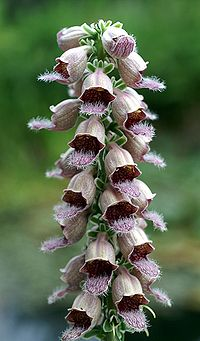Digitalis ferruginea Orchi 01