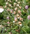 Digitalis lanata 06.jpg