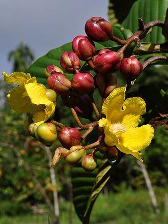 Dilleniaceae - Dillenia suffruticosa