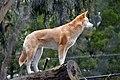 Dingo (50150286963).jpg