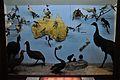 Diorama - Birds of Australia and New Zealand - Zoological Gallery - Indian Museum - Kolkata 2014-04-04 4398.JPG