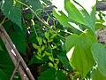 Dioscorea villosa - Wild Yam, female flowers.jpg