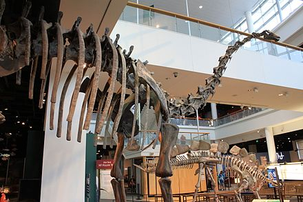 Diplodocus fossil exhibit in Minnesota Science Museum Diplodocus Minnesota Science Museum.jpg