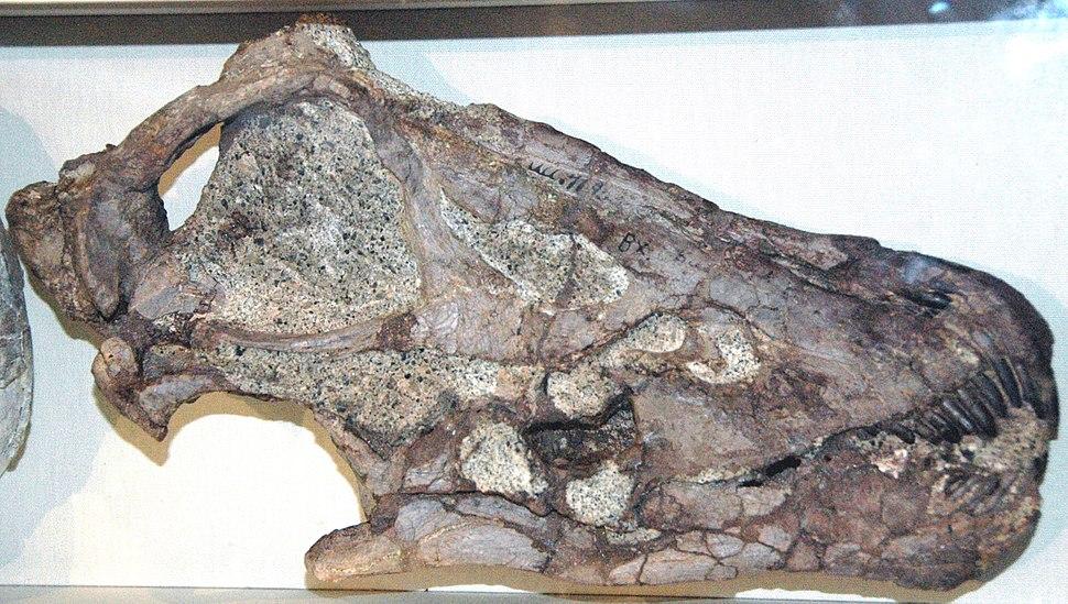 Diplodocus skull, DNM