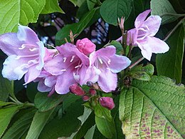 Dipsacales - Weigela florida - 1