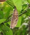 Doleschallia bisaltide - Autumn Leaf pupa at Madayipara 2014 (2).jpg