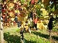 Domina grapes on the vine.jpg