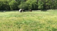 File:Dominance hierarchy in a herd of horses.webm