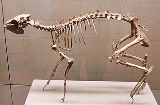 Dorcatherium - Skeleton