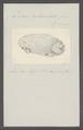 Doris tuberculata - - Print - Iconographia Zoologica - Special Collections University of Amsterdam - UBAINV0274 080 21 0011.tif