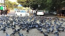 File:Doves eating grains New Delhi India.webm