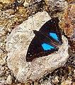 Doxocopa cyane - Flickr - Dick Culbert.jpg