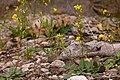 Draba mogollonensis - Flickr - aspidoscelis (1).jpg