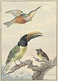 Drie vogels- een IJsvogel, een Prins von Wied's Toekan en een Organist.jpeg