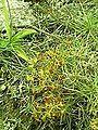 Drosera peltata-plant-yercaud-salem-India.jpg