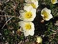 Dryas integrifolia upernavik 2007 06 28 1.jpg