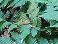 Dryopteris goldiana BW-3131q.jpg