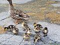Duckings.jpg
