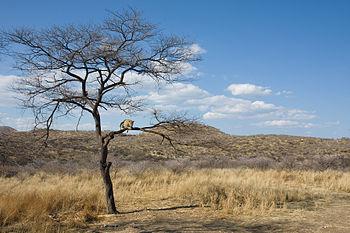 Landskap in namibië met 'n luiperd ( panthera pardus ) op 'n boomtak