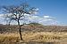 Duesternbrook Leopard auf Baum.jpg