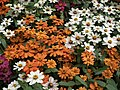Dwarf Zinnia from Lalbagh flower show Aug 2013 8231.JPG