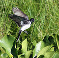 Eastern Kingbird (4769690133).jpg